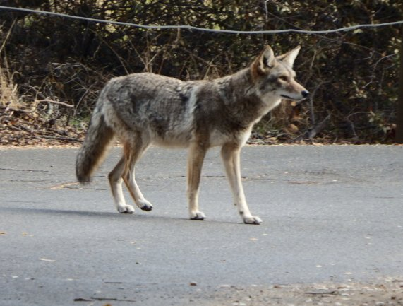 Female Coyote.  Photo by Mary K. Hanson.  ©2013.  All Rights Reserved.