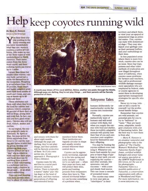 Davis Enterprise Coyote article