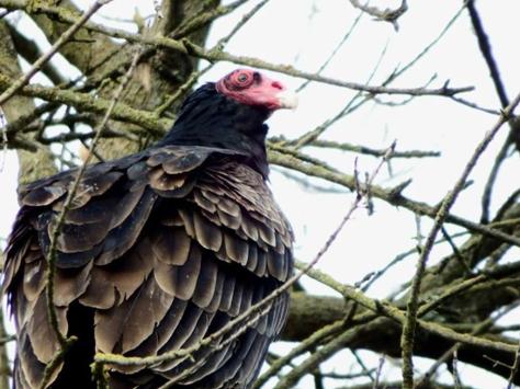 vulture1W-1024x768
