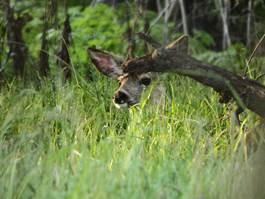 deer-calendar