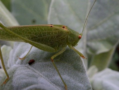 Katydid. Copyright © 2015, Mary K. Hanson. All Rights Reserved.