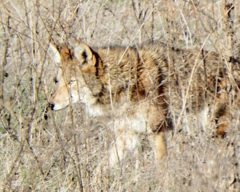 Coyote. Copyright © 2015, Mary K. Hanson. All Rights Reserved.