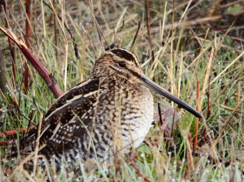 Wilson's Snipe. © Copyright 2015 Mary K. Hanson. All rights reserved.