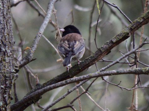 Dark-Eyed Junco. © Copyright 2015 Mary K. Hanson. All rights reserved.