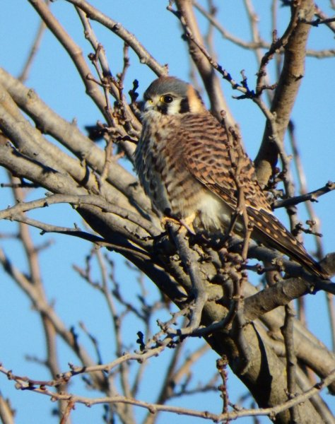 Female American Kestrel. Copyright © 2015 Mary K. Hanson. All rights reserved.