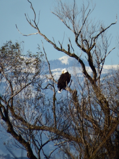 Bald Eagle. Copyright © 2015 Mary K. Hanson. All rights reserved.