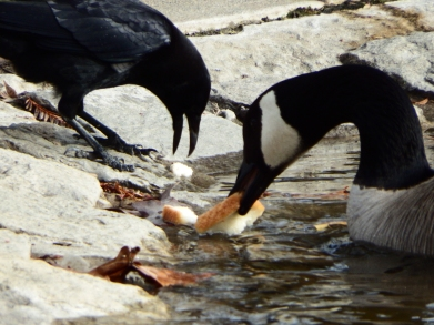 Crow feeding geese. © Copyright 2016, Mary K. Hanson. All rights reserved.