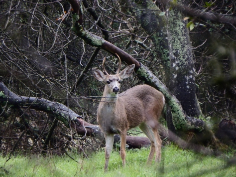 """""""Spike Buck"""". © Copyright 2016, Mary K. Hanson. All rights reserved."""