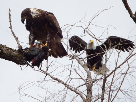 A first-year eagle gets some support from a parent. © 2016 Mary K. Hanson. All rights reserved.