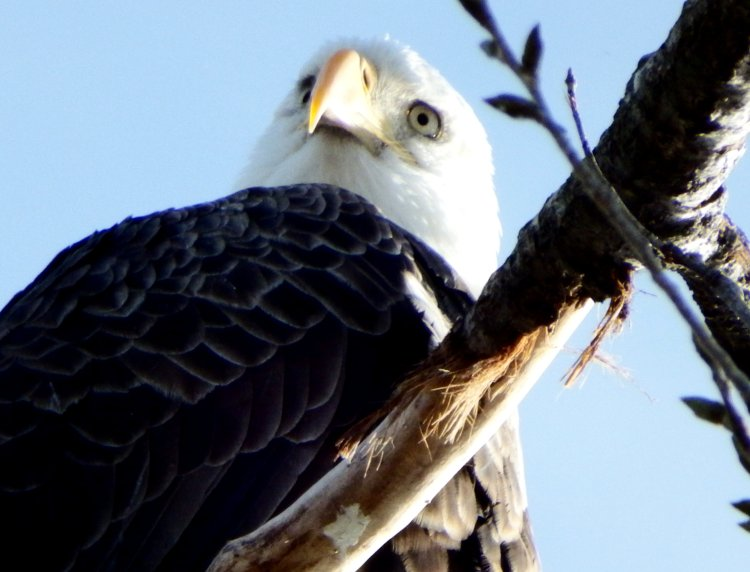 Bald Eagle. © 2016 Mary K. Hanson. All rights reserved.