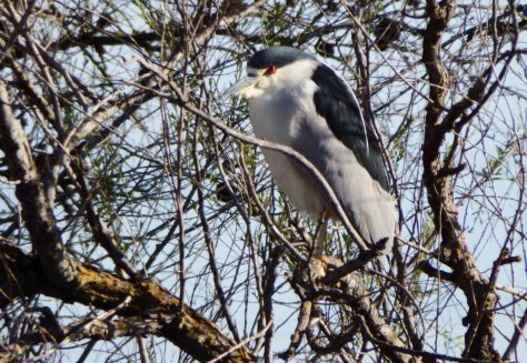 Black-Crowned Night Heron. Copyright ©2016 Mary K. Hanson. All rights reserved.