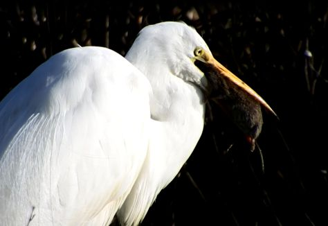 Great Egret tries to swallow its catch. © 2016 Mary K. Hanson. All rights reserved.