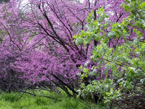 Redbud Tree. ©2016 Mary K. Hanson. All rights reserved.