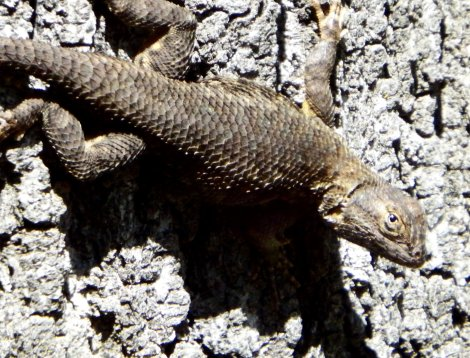 Western Fence Lizard. Copyright © 2016 Mary K. Hanson. All rights reserved.