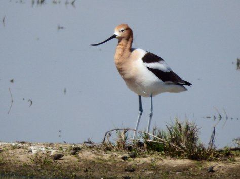 American Avocet. Copyright © 2016 Mary K. Hanson. All rights reserved.