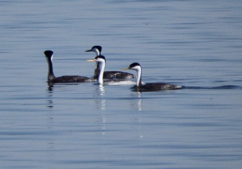 Clark's Grebes versus Western Grebe. Copyright © 2016 Mary K. Hanson. All rights reserved.