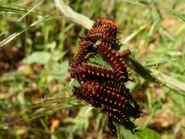 Pipevine Swallowtail caterpillars. Copyright © 2016 Mary K. Hanson. All rights reserved.