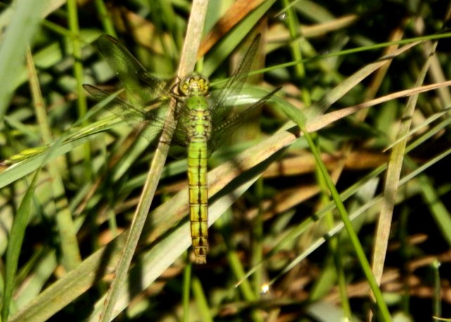 Female Western Pondhawk. Copyright © 2016 Mary K. Hanson. All rights reserved.