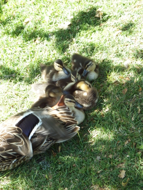 Mallard ducklings hugging the shade. Copyright © 2016 Mary K. Hanson. All rights reserved.