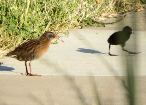 Virginia Rail and chick. Copyright © 2016 Mary K. Hanson. All rights reserved.