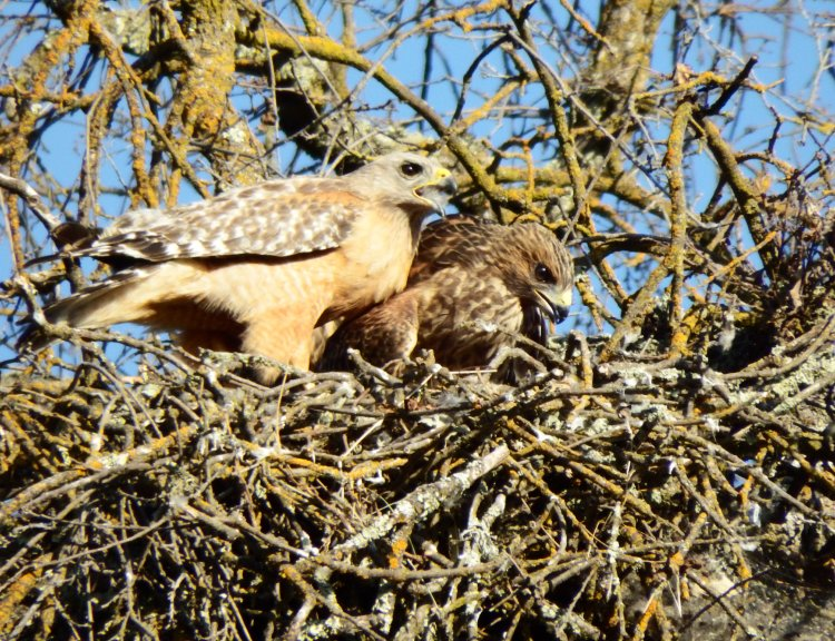 Mother and child. Red-Shouldered Hawks. ©2016 Copyright Mary K. Hanson. All Rights Reserved.
