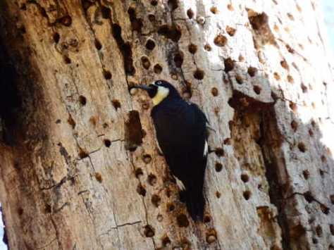 The Acorn Woodpeckers' granary trees are filled with acorns, nuts, seeds, and other food stuffs to help sustain the woodpeckers during the winter when their favorite food – flying insects – is in short supply. In this photo, you can see some of the contents of the holes the woodpeckers drilled into the dead or dying parts of this tree. Photo by Mary K. Hanson.