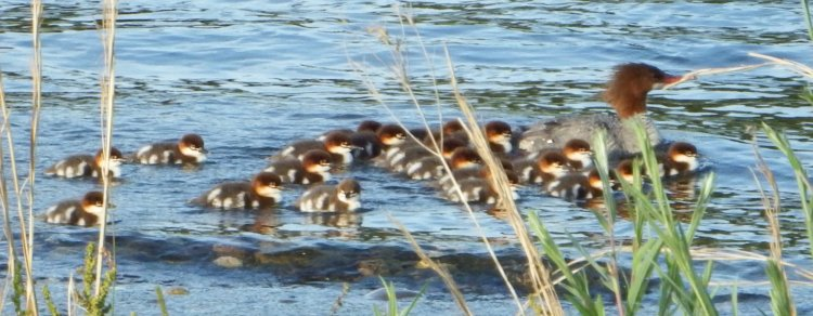 Female Common Merganser and babies. ©2016 Copyright Mary K. Hanson. All Rights Reserved.