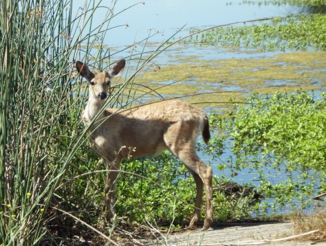 Young male Mule Deer. ©2016 Copyright Mary K. Hanson. All Rights Reserved.