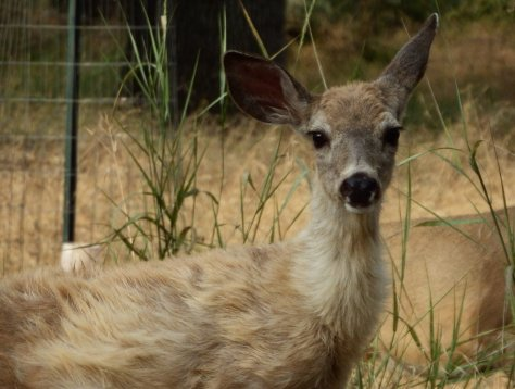 Young Mule Deer. ©2016 Copyright Mary K. Hanson. All Rights Reserved.