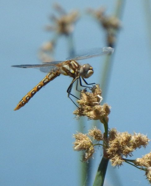 Female Variegated Meadowhawk dragonfly. ©2016 Copyright Mary K. Hanson. All Rights Reserved.