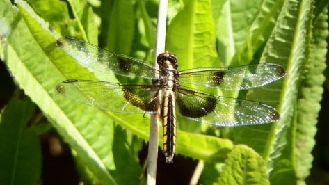Juvenile Widow Skimmer. ©2016 Copyright Mary K. Hanson. All Rights Reserved.