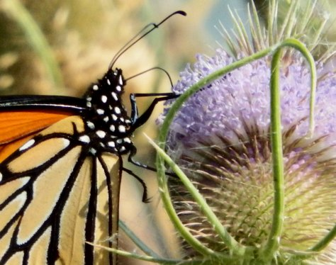 Monarch Butterfly on teasel. ©2016 Copyright, Mark K. Hanson. All rights reserved.