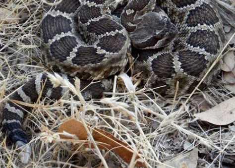 Rattlesnake. ©2016 Copyright, Mark K. Hanson. All rights reserved.