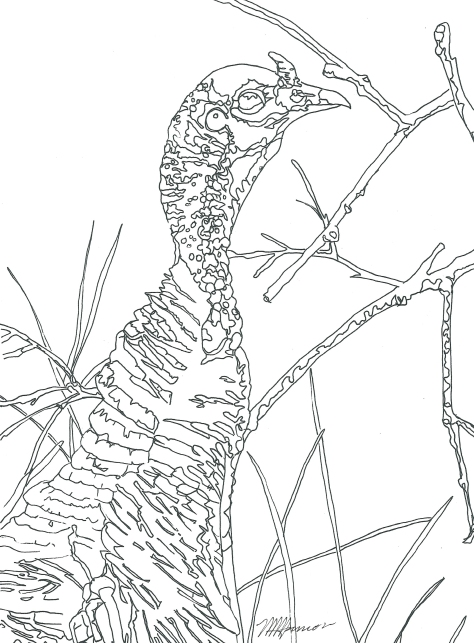 Drawing I did of a wild turkey. ©2016 Copyright, Mark K. Hanson. All rights reserved.
