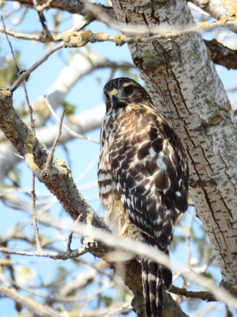 Juvenile Red-Shouldered Hawk. © 2016 Copyright Mary K. Hanson. All Rights Reserved.