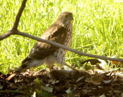 Juvenile Red-Shouldered Hawk. © Copyright 2017, Mary K. Hanson. All rights reserved.